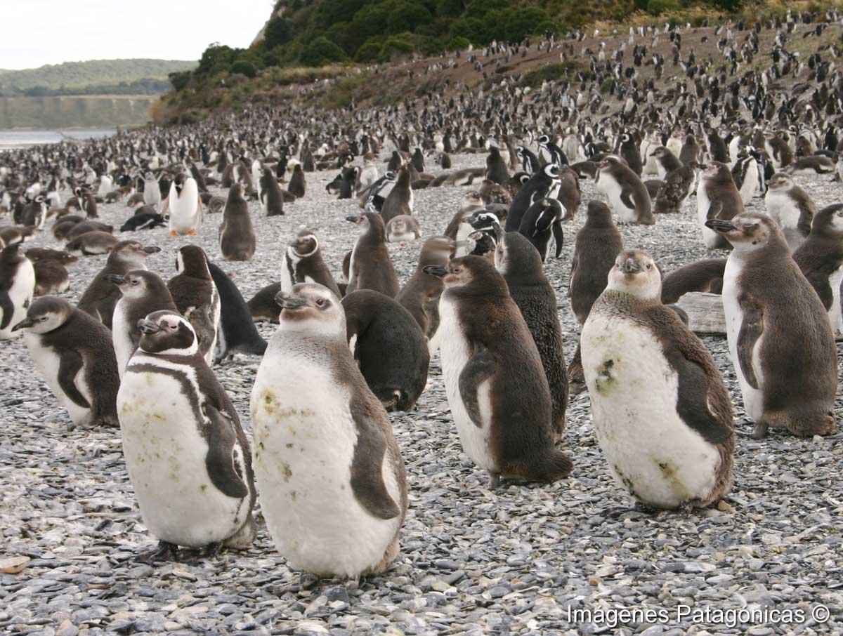 Colonia de Pinguinos en la isla Martillo Tolkeyen Patagonia Turismo