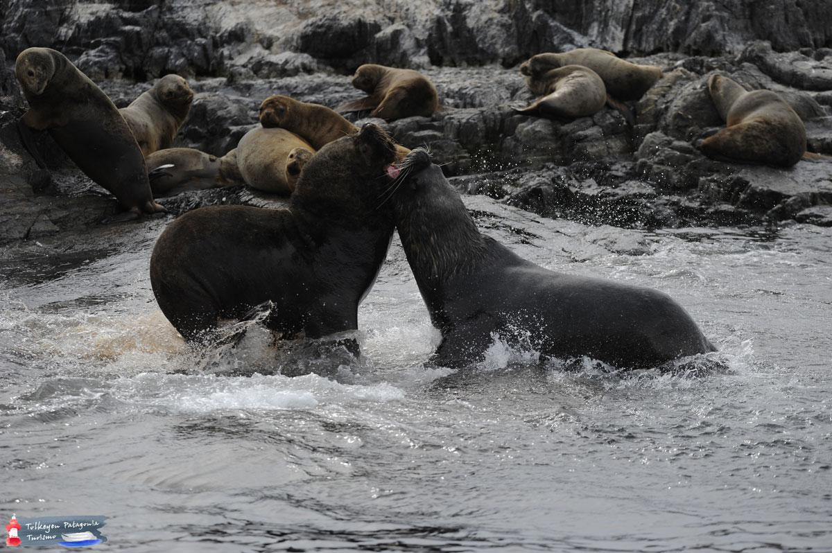 Lobos Marinos Tolkeyen Patagonia