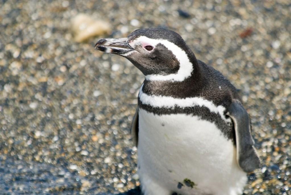 Pinguino Tolkeyen Patagonia Turismo Ushuaia PH ©-Facundo-Santana-(310)